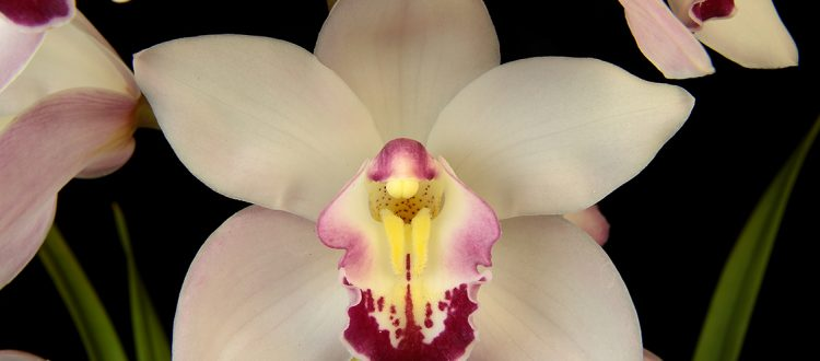 White-Orchid-on-Black-Background